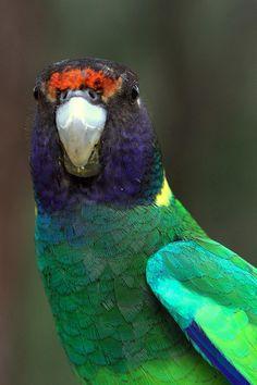 "Australian Ringneck Parrot - ""Twenty Eight"" form (Barnardius zonarius) | Flickr - Photo Sharing!"