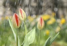Tulips are one of the easiest flowers you can choose to grow. Plant your bulbs in autumn and forget about them. One easy mistake that can jeopardize your bulbs, however, is improper watering. So how much water do tulips need? Learn more here.