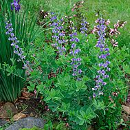 Baptisia australis (blue false indigo, Plains false indigo) - Fine Gardening Plant Guide