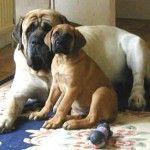 english-mastiff-puppies-photos-148