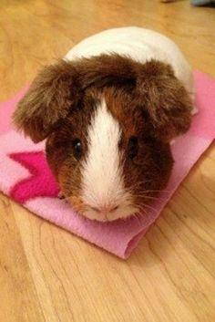. Hamsters, Rodents, Guinnea Pig, Guinea Pig Clothes, Baby Animals, Cute Animals, Alex Pics, Princesa Leia, Baby Guinea Pigs