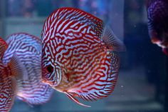Photo gallery of Discus fish - Live Tropical Fish - Live Tropical Fish Discus Aquarium, Tropical Fish Aquarium, Discus Fish, Freshwater Aquarium Fish, Fish Gallery, Rare Fish, Birthday Wishes And Images, Water Life, Angel Fish