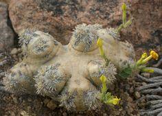 Pachypodium brevicaule | Flickr - Photo Sharing!