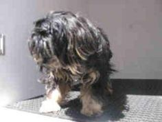 A4562074 URGENT BALDWIN SHELTER is an adoptable Lhasa Apso Dog in Baldwin Park, CA. **WE NEED VOLUNTEERS TO POST & REMOVE PETS ON PETFINDER. IF YOU CAN COMMIT TO THE CAUSE OF HELPING SAVE SHELTER ANIM...