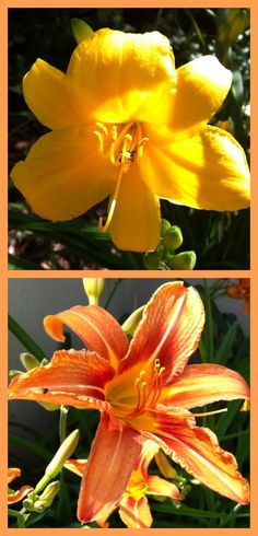 and now the day lilies bloom