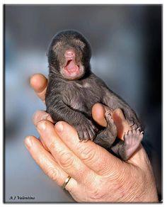 Newborn Black Bear Cub