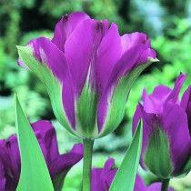 Tulipan Violet Bird