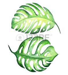 Tropical exotic leaves monstera Watercolor illustration  Stock Illustration