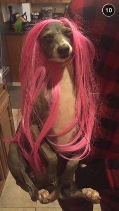 Jenna Marbles Italian Greyhound Kermit
