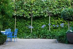 Contemporary family garden Islington, by London garden designer Declan Buckley: pleached evergreen magnolias and jasmine with agapanthus + blue chairs. Evergreen Magnolia, Magnolia Trees, Evergreen Trees, Back Gardens, Outdoor Gardens, Modern Gardens, Vertical Gardens, Formal Gardens, Espalier