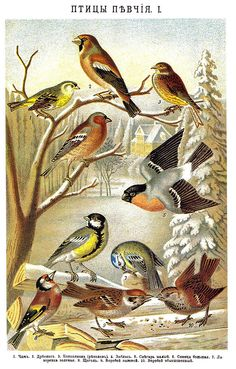 Brockhaus and Efron Encyclopedic Dictionary b50 718-1 - Category:Bird illustrations from Brockhaus and Efron Encyclopedic Dictionary - Wikimedia Commons