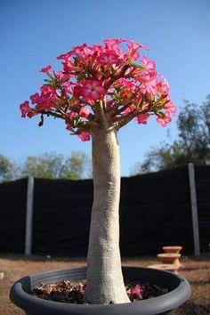 Técnica Anaconda - Aprenda a alongar o Caudex - Raizes das Rosas do Deserto Adenium. Tutorial Passo-a-Passo.