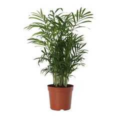 Visit IKEA online to browse our range of garden decoration, and find plenty of home furnishing ideas and inspiration. Potted Plants, Cactus Plants, Indoor Plants Online, Dracaena Plant, Ikea Ps, Ikea Shopping, Easy Care Plants, Ikea Family, Outdoor Pots