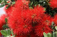 Flowering Tree Identification | Flowering Rata Tree of New Zealand : New Zealand : World Landscapes ...