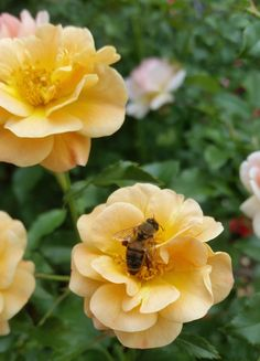Flower Carpet Amber is a favorite of pollinators like bees and butterflies!