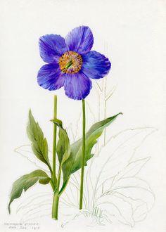 Lilian Snelling -- Meconopsis grandis -- Lilian Snelling -- Artists -- RHS Prints