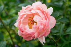 Peony 'Coral Charm' Peonies, Cottage, Garden, Plants, Garten, Cottages, Gardens, Cabin, Planters