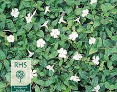 Buy white lesser periwinkle Vinca minor f. alba: Delivery by Crocus