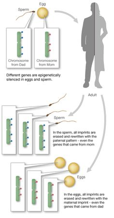 """a research on genetic imprinting Mammalian genomic imprinting marisa s bartolomei1 and anne c ferguson-smith2  that require more extensive research in mammals, a small number of genes are marked with their parental origin with the result that only a single parental allele is ex-pressed these genes, which are termed """"im."""