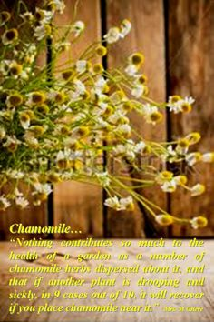 Chamomile is an amazing plant and essential oils! http://jennscents.net/?sn=3901-6