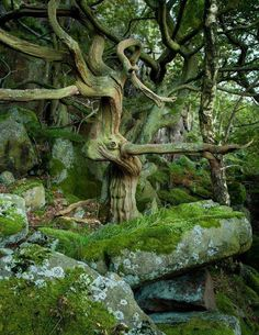 Druids Trees: Enchanted #woods.