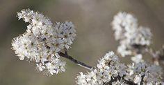 Ob in der Natur oder im eigenen Garten: Bei Sammeln von Schlehen zahlt sich Geduld zahlt aus, denn Kälte macht die kleinen Wildfrüchte milder und süßer.