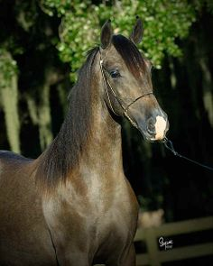 Hispano Arabe, a Spanish horse breed originating from the cross-breeding of Arab and Andalusian horses. Suitable for equestrian sports such as show-jumping, dressage, cross-country, endurance and TREC.