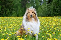 Sable Rough Collie. Collie dog art portraits, photographs, information and just plain fun. Also see how artist Kline draws his dog art from only words at drawDOGS.com #drawDOGS http://drawdogs.com/product/dog-art/collie-dog-portrait-by-stephen-kline/