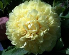 Paeonia Sonoma Yedo is an Early Midseason Itoh Hybrid Peony, double, yellow, extreme double yellow, with the highest petal count of all Itoh Hybrids that we grow. It blooms over a long period of time rather than opening all of the blooms on the plant at the same time. It begins opening blooms before Bartzella and will have blooms open well after Bartzella has finished up blooming. (Irene Tolemeo, USA, 2010). www.peonyshop.com