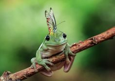 Frog appears to have a Mohican haircut after butterfly lands on his head and stays there for 15 minutes
