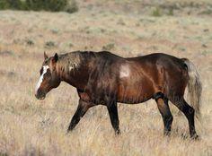 Bay Mustang