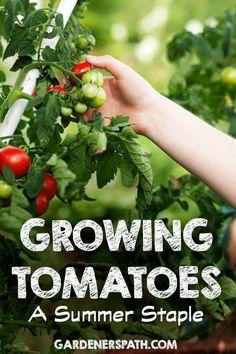 Growing Tomatoes: A Summer Staple   Gardenerspath.com
