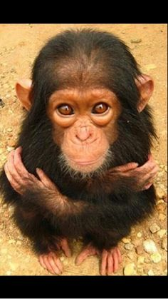 Baby #chimp. #HappyAlert via @Happy Hippo Billy