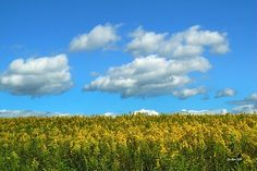 Country Field with Flowers by Christina Rollo. Scenic view of beautiful country field with fresh goldenrod in full bloom against bright blue sky in upstate New York, USA.   SHOP MY COMPLETE COLLECTION AT:  www.rollosphotos.com