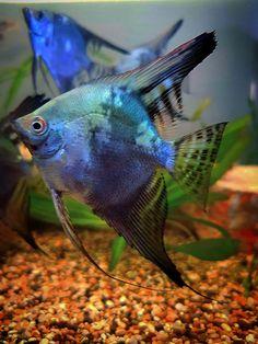 Pretty Fish, Cool Fish, Beautiful Fish, Tropical Fish Aquarium, Freshwater Aquarium Fish, Beautiful Sea Creatures, Animals Beautiful, Aquariums, Angel Fish Tank