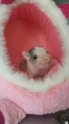 Pampered Piggy!