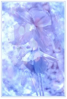 Himalayan poppy. . shades of lavender, lilac and pariwinkle