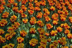 Tulipani by ivomarkes