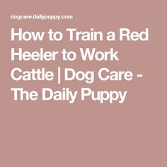 How to Train a Red Heeler to Work Cattle | Dog Care - The Daily Puppy