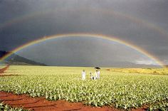 Pineapple fields & double rainbow on Kunia Rd, Oahu Hi. I drove down this road almost daily for 6 years & it never once got old!