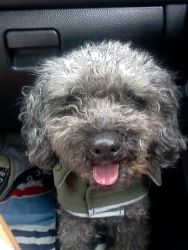 Wally is an adoptable Poodle Dog in Seattle, WA. My name is Wally and I am a 5 yr old Blue/Black Male Poodle dog. I am only 14 lbs, super sweet and so excited to find my forever home. I get along grea...