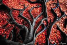 World's Most Beautiful Trees Photography - Black roots on red leaves.  Photo by Paul Pichugin.