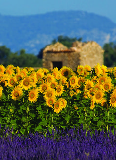 Lavender and sunflower fields in bloom in Provence, France.