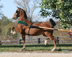The Hackney Horse of England also comes in pony size and is exclusively used to pull carts smartly. Hackney Horse, Horse Wallpaper, American Saddlebred, Pony Horse, Draft Horses, All Gods Creatures, Horse Breeds, Horse Art, Show Horses