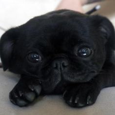 my mom would wants this pug so i want it then if my mom say yes i want one