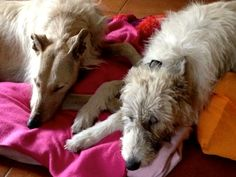 Pana and Lahli.... lurchers