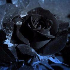 Egrow 100Pcs Black Rose Seeds Beautiful Flower Seeds Home Garden Bonsai - US$2.49