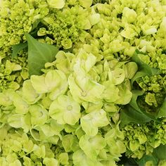 FiftyFlowers.com - Baby Hulk Green Hydrangea Flower