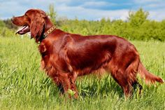 Irish Setter Puppies For Sale & Puppy Breed Info Setter Puppies, Irish Setter Dogs, Puppies For Sale, Dogs And Puppies, Best Dog Breeds, Puppy Breeds, Retriever Puppy, Dogs Golden Retriever, Dog Breed Info