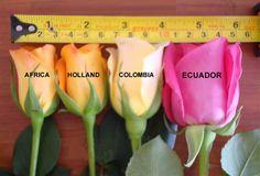 9.000 rosas   Revista Véu